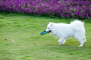 Samojede mit Frisbee