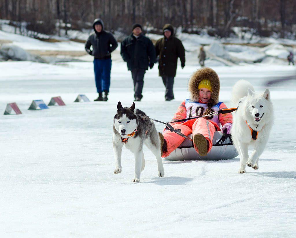 Samojede und Husky aus Sibirien
